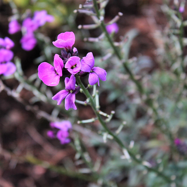 Wild Flowers ~Erysimum