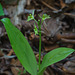 Liparis loeselii (Loesel's Twayblade orchid)