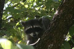 Confused Raccoon