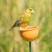 Cup Finch