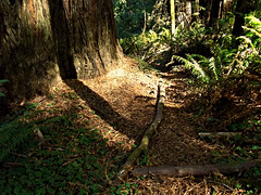 Path in the Jedediah Smith Redwoods