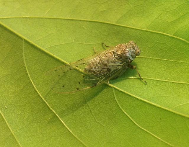 A Larger Cicada