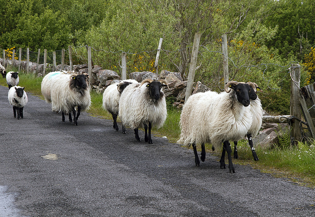 moutons3
