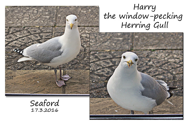 Harry the Herring Gull - Seaford - 17.3.2016