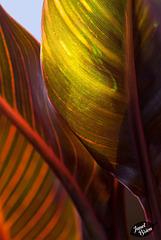344/366: Luminous Canna Leaves