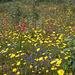 Illyrische Siegwurz (Gladiolus illyricus) in einer herrlichen Blumenwiese