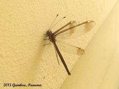 106 Ascalobyas albistigma (Walker, 1853) An Owlfly