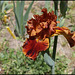 Iris Rustler