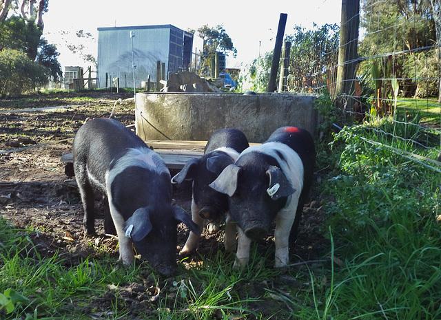new piglets!