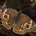 Common Buckeye Butterfly on our Property! (+4 insets)