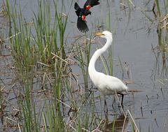 33/50 grande aigrette-great egret