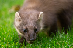 Our Pine Marten in residence, having its peanuts for lunch!