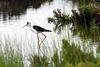 Himantopus himantopus, Pernilongo, Castro Marim, Algarve