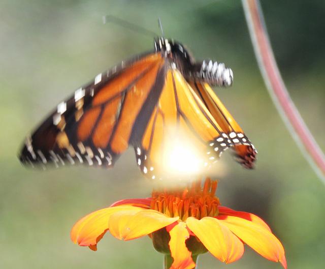Monarch In Motion ..