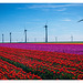 Wind mills and Tulips...