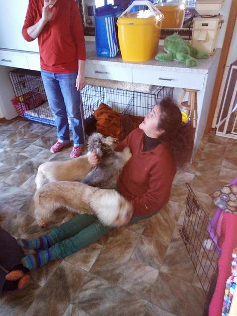 Dandie Dinmont puppy attack!