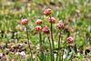 Blütenknospe der Alpen Grasnelke