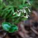 Neottia smallii (Appalachian Twayblade orchid)