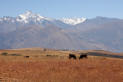 Two cows in the Andes Mountains