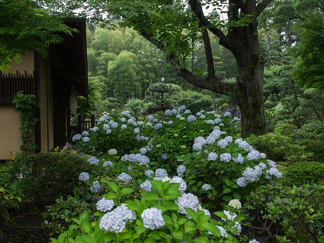 Tea house and hydrangea