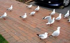 Gulls Looking For Tidbits.