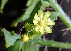 Blüte von Brasiliopuntia brasiliensis