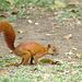 Red Squirrel EF7A665