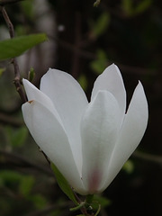 Almost white magnolia