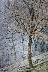Icy Last Leaves