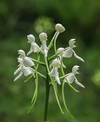 Platanthera integrilabia (White Fringeless orchid)