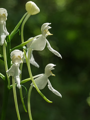 Platanthera integrilabia (White Fringeless orchid)