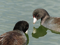 Couple of Coots / Fulica americana