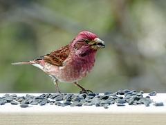 Purple Finch male, Tadoussac, Quebec