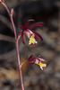 Hexalectris warnockii (Texas Purple Spike orchid or Texas Crested Coralroot orchid)