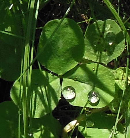 Trèfle malchanceux / Unlucky clover