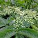Blütenstand des Holunder kurz vor dem Aufblühen. ©UdoSm
