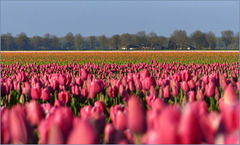 Old Pink coloured Tulips in the Evening Sun....