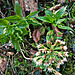 Wald-Bingelkraut und Weiße Pestwurz