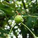 The Conkers Are Coming