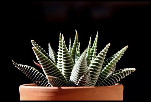 Haworthia limifolia fa striata (2)