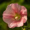 Pink Hollyhock / Alcea