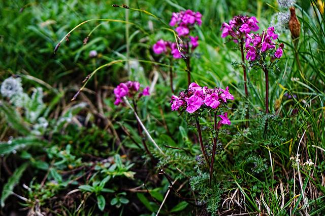 Kopf-Läusekraut - Pedicularis rostratocapitata - Lousewort