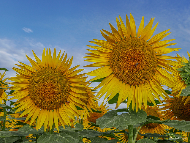 Sonnen Blumen