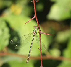 Willow Emerald Damselfly (Chalcolestes viridis)