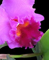 Orchid Closeup NYBG 022619 V2
