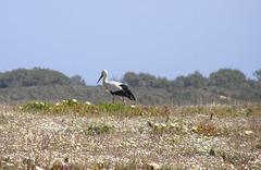 Storch auf Trockenrasen