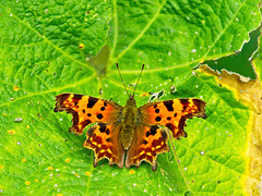Comma Butterfly (+PiP)
