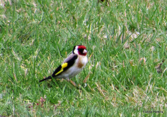 European Goldfinch.