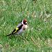 European Goldfinch.