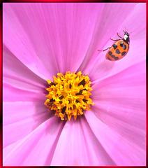 Asian ladybeetle. ©UdoSm